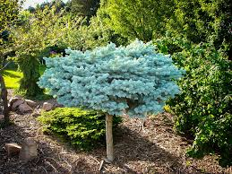globe blue spruce tree the tree center landscaping