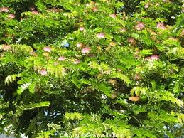 Decorative Trees In India Rain Tree Albizia Saman Gardening Ornamental Trees