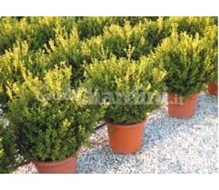 buxus sempervirens in vaso pianta in vaso buxus microphylla rotundifolia