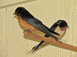 Cliff Barn Swallows Barn Cliff And Northern Rough Winged
