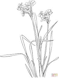 daffodil coloring pages free coloring pages