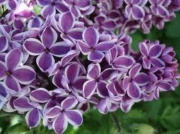 lilac flowers lilac flower 3 jpg
