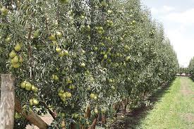 good fruit grower u2013 goodtoknowbartlettaustraliafig1