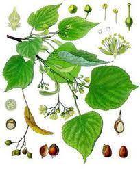 linden flower oilsandplants linden profile