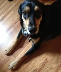 do pets ruin your hardwood floors mn pets and wood floors