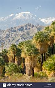 california palm springs thousand palms oasis california fan palm