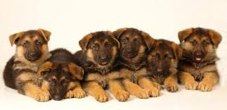 belgian shepherd how much how many puppies can a german shepherd have in one litter