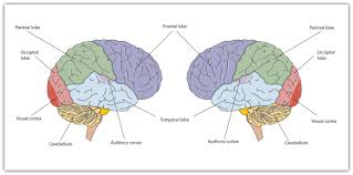 Anatomy And Physiology Of The Brain 3 2 Our Brains Control Our Thoughts Feelings And Behavior