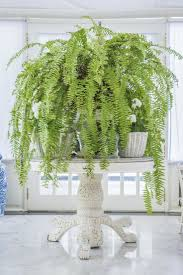 best 25 boston ferns ideas on pinterest boston ferns care