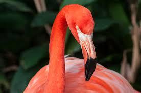 very large flamingo jpg