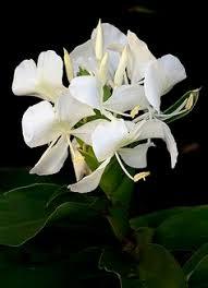 la mariposa national flower cuba cuba