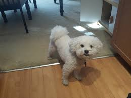 bichon frise 20 pounds 5 great holiday gifts for your bichon frise married with bichons