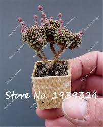compare prices on mini cactus plants potted online shopping buy