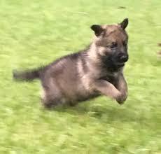 belgian sheepdog german shepherd mix protection dogs u0026 puppies for sale