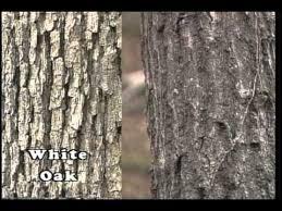 tree identification winter phase