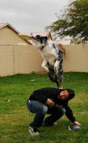 australian shepherd vs brittany hunting the aussie board