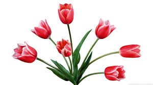 flowers red tulips hd desktop wallpaper widescreen high