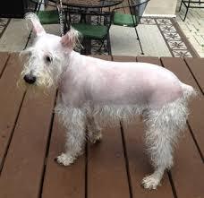 schnauzers hair cuts mini schnauzer haircuts pictures the best haircut 2017