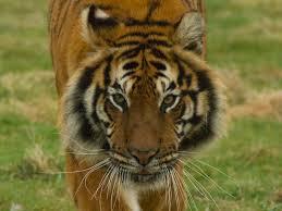 rosa king investigation on tiger who killed zookeeper at hamerton