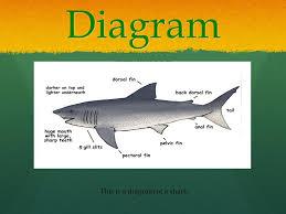 diagram of a shark shark