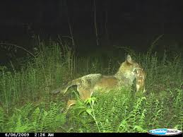 Can Coyotes See Red Light Wolves Wolf Facts Cougars Cougar Facts Coyotes Coyote Facts