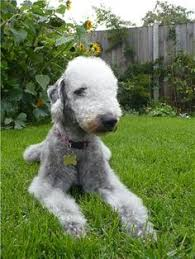 feeding a bedlington terrier bedlington terriers terriers pinterest bedlington terrier