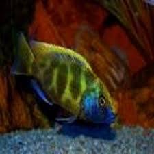 cichlid ornamental fish modern pet centre kolkata id