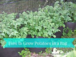 Container Gardening Potatoes - how to grow potatoes in a bag grow potatoes potatoes growing