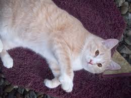 shorthair for 40 year olds guacamole is a dilute orange domestic shorthaired male cat who is