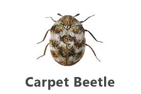 Biscuit Beetle In Bedroom Carpet Beetles Pest Guide Owl Pest Control Dublin