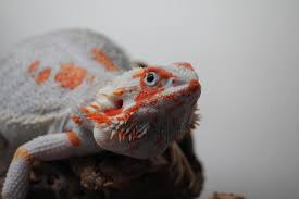 topic bearded dragons chicken smoothie