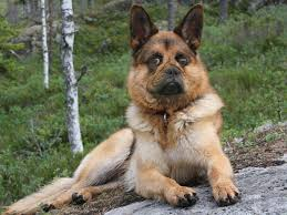 belgian shepherd breeders uk pedigree dogs exposed the blog thought you u0027d seen it all czech