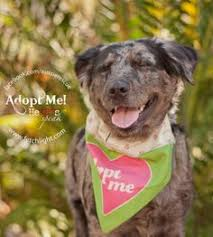 australian shepherd rescue san diego and friends gizmo is a terrier adoptable from aussie rescue san diego http