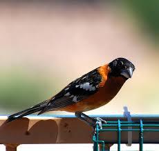black birds for halloween birding is fun halloween birds