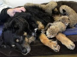 australian shepherd and poodle male australian shepherd is the nanny at the zoo the poodle and