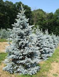 blue spruce trees hoopsie blue spruce fort wayne trees