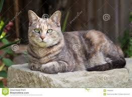 tortoishell tabby cat sitting on garden bench with paws folded
