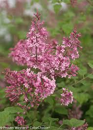 Fragrant Plants For Pots Bloomerang U0027pink Perfume U0027 Reblooming Lilac Syringa X Proven