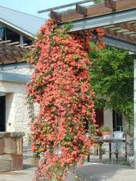 shade tolerant perennial vines wooden arbor climbing hydrangea