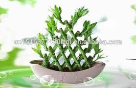 pyramid lucky bamboo dracaena sanderiana bamboo plants indoor