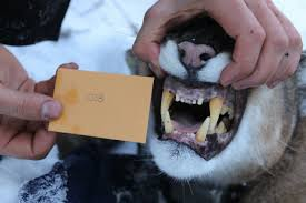studying cougars in alberta u2013 how to collar a cougar alberta