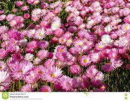 western australia native plants western australia native wildflower pink everlasting paper daisies