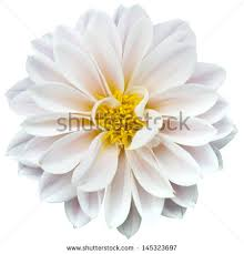 white flower white flower stock images royalty free images vectors