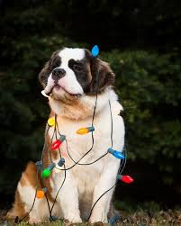 best 25 bernards ideas on st bernard dogs
