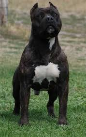 american pitbull a terrier what u0027s the difference between staffordshire bull terrier