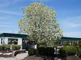 trees st louis mo shade ornamental flowering evergreen fruit