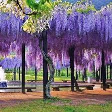 japan flower tunnel wisteria flower tunnel in japan anime amino
