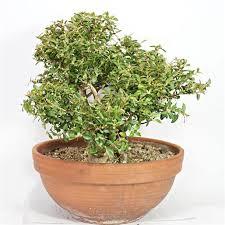 buxus sempervirens in vaso bosso yamadori p b esemplare unico cm 49 299 00 pagine verdi bonsai