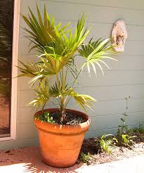 florida thatch palm for sale wilcox nursery