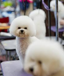 bichon frise 4 months old erie kennel club dog show opportunity to watch learn lifestyle